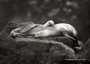 SeaLion_AfternoonNap copy