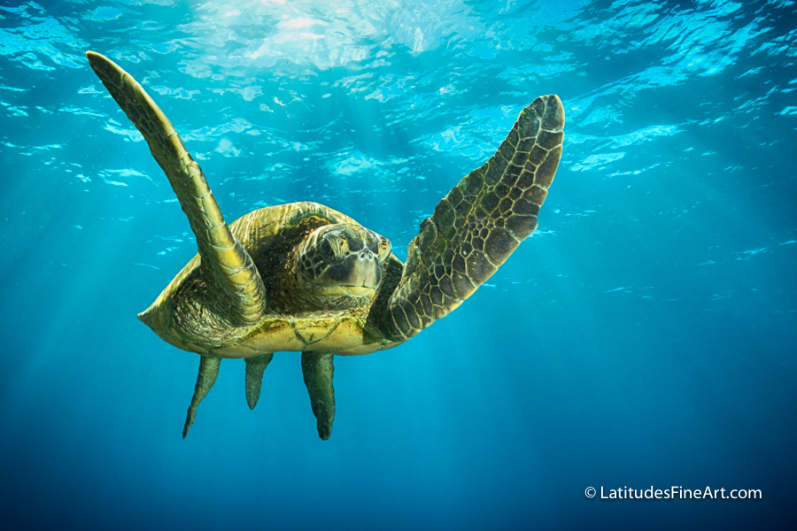 Flying Honu_24x36_
