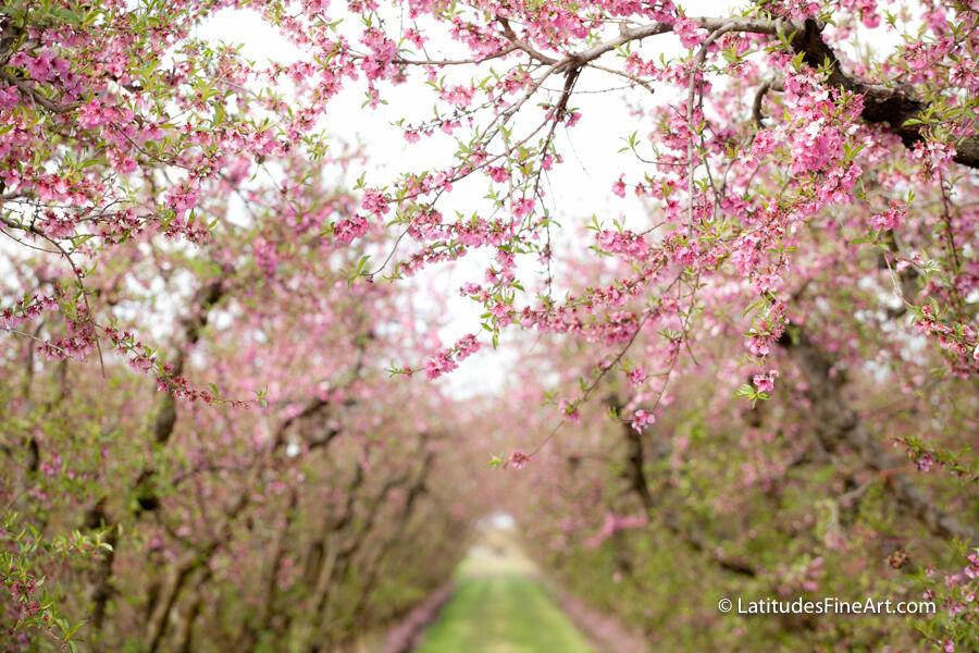 SH_00059_SpringBlossoms_H