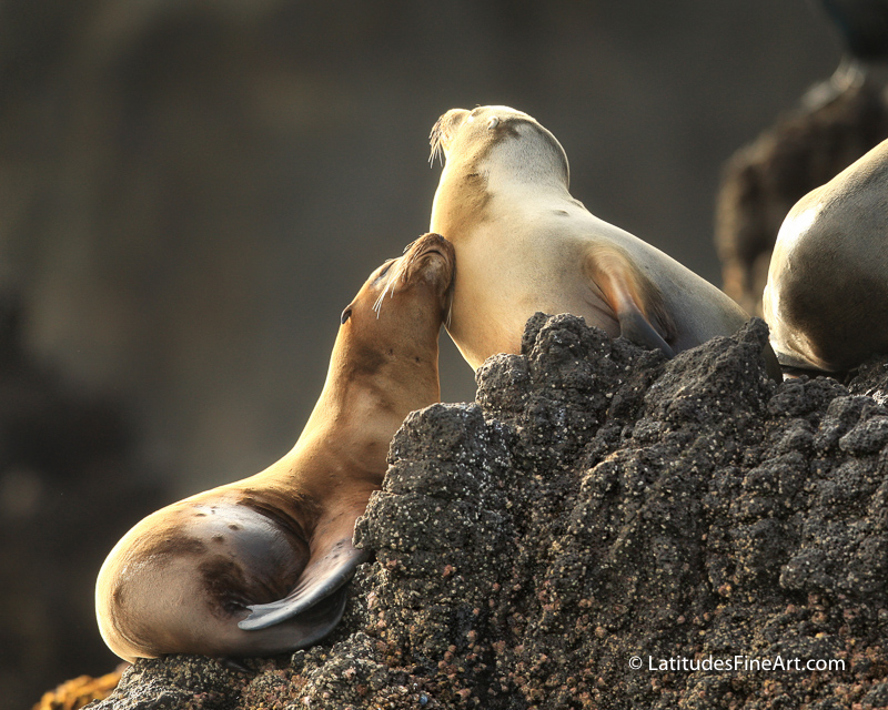 SeaLionSnuggle