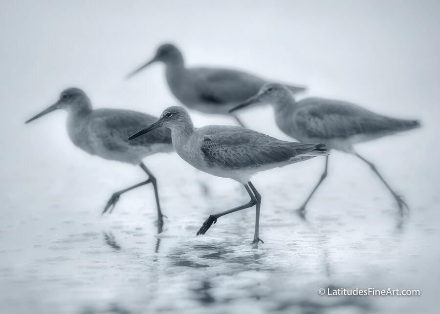 Shorebird Dance